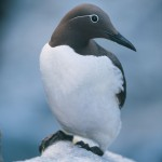 Common guillemot Uria aalge Birds  Fauna Flora and Fauna
