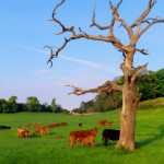 cattle-tree-620x465